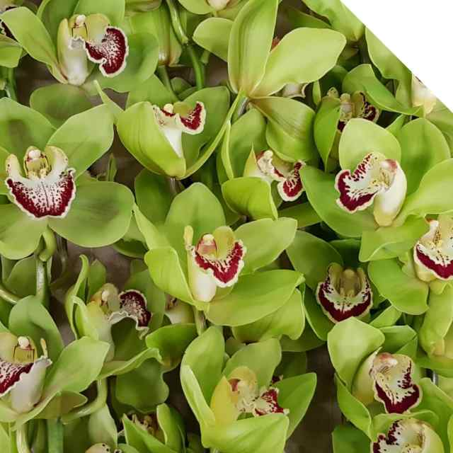Discover more about Cymbidiums - Triangle Nursery Ltd