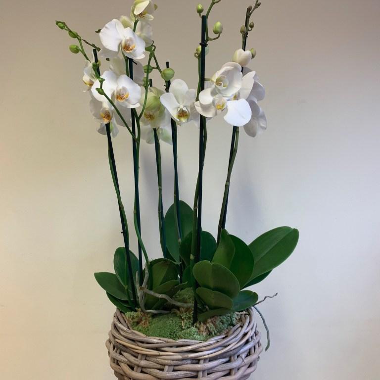 DIY Orchid Phalaenopsis Gift Basket