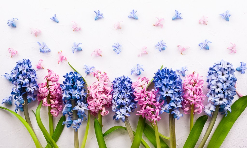 Learn about Hyacinths this January with Triangle Nursery