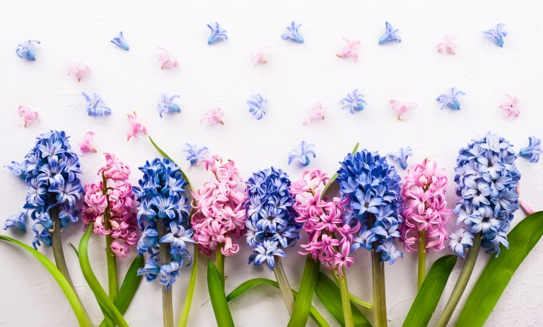 Flower of the Month January: Hyacinths