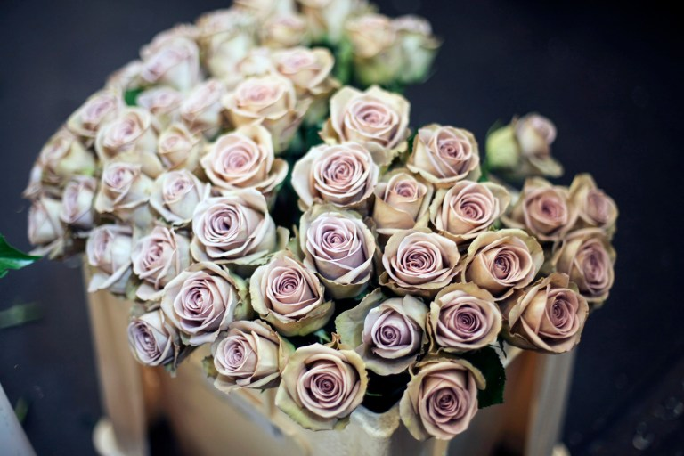 Introduction to Purple and Lilac Roses