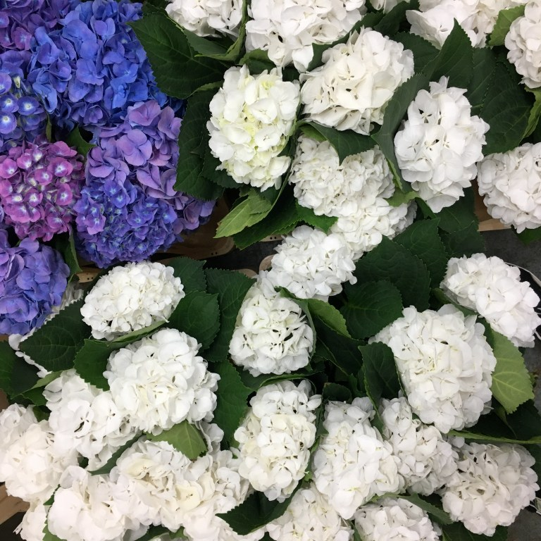How to Condition Hydrangea