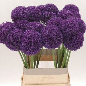 Allium Ambassador - Top Picks for August!