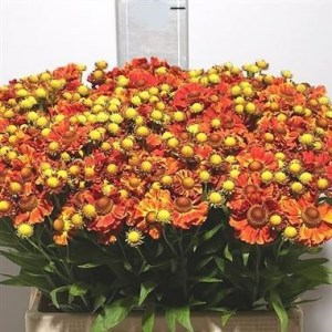 Helenium Autumn Fire - Tops Picks this August 2019!