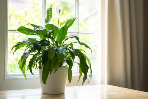 Peace Lily Health Benefits