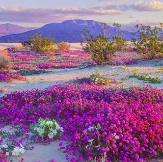 anza-borrego-flowering01.jpg