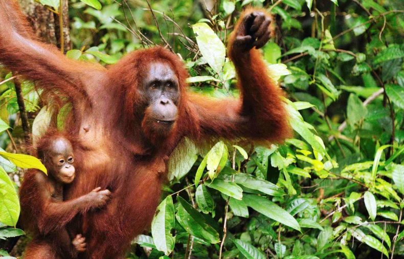 Travel in Malaysia this year and discover Orangutans in Borneo