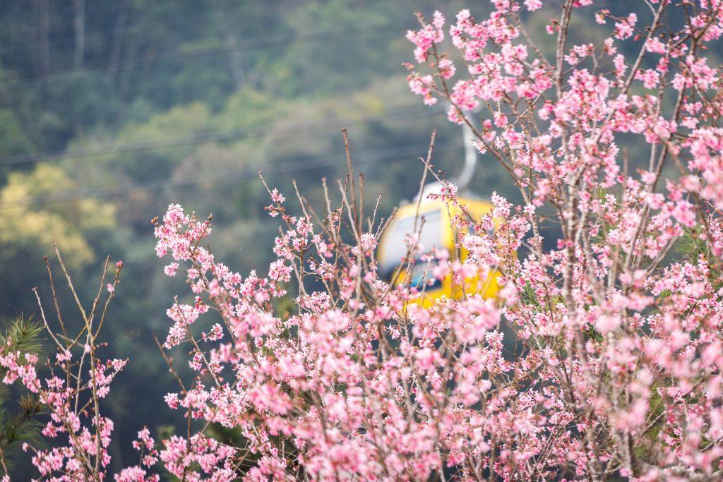 Pemandangan Sakura Dari Atas Ropeway di Sun Moon Lake Taiwan