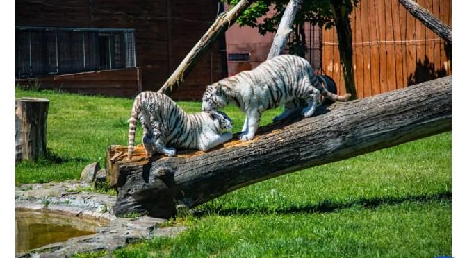 Białe lwy i tygrysy magnesem ZOO Safari w Borysewie