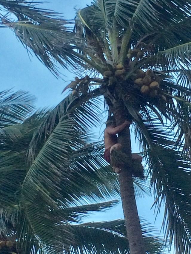 Polynesian Cultural Center coconut tree climber