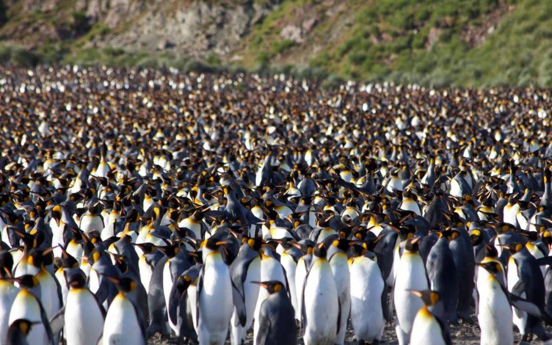 Salisbury Plain…Home to 500,000 King Penguins