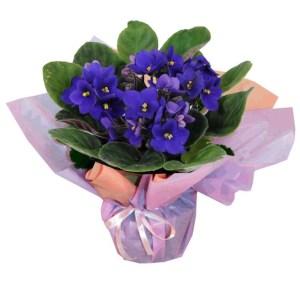 Violeta é uma das flores para vaso