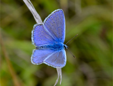 'Common Blue Butterfly'