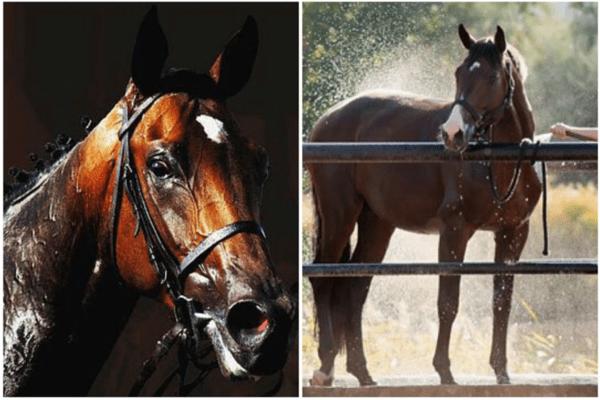 Stress da calore nel cavallo