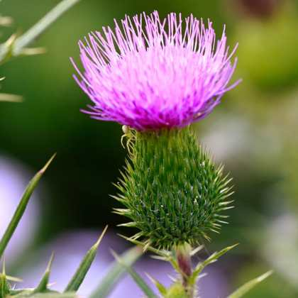 Milk Thistle Benefits, Potential Side Effects, and Cautions