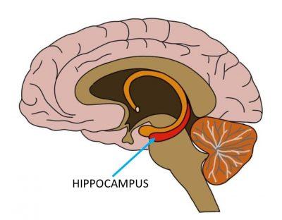 Pengertian Hipokampus, Anatomi, fungsi, fisiologi, gangguan –  Blog.usaha321.net