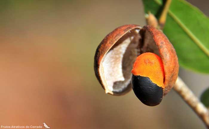 Resultado de imagem para copaiba fruto