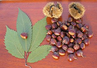 320px-American_Chestnut