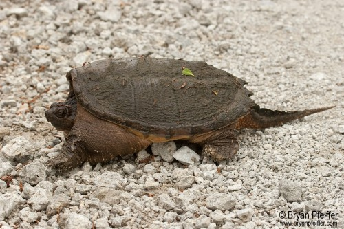 snapping-turtle-bryan-pfeiffer