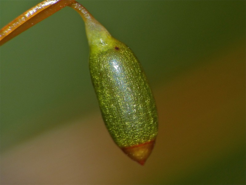 A close-up of a sporophyte capsule. By Bernard DuPont from France. Image licensed under creative commons by Wikipedia.
