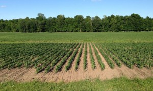 Newly planted cover crops in test plots at Borderview Research Farm (June 19, 2015).