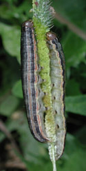 Armyworms, courtesy of Sid Bosworth, UVM Extension