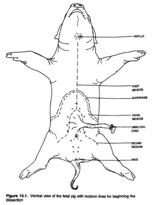 Anatomical Drawings of a Fetal Pig