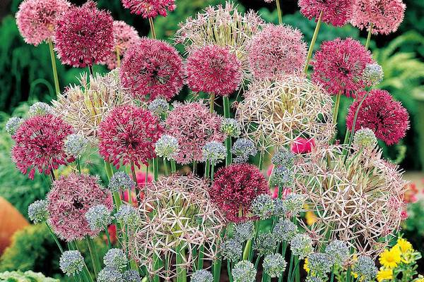 Van Meuwen Allium collection