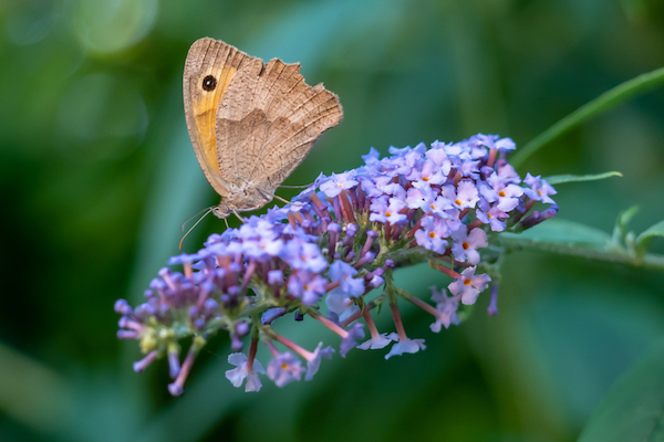 Meadow brown butterfly feeding from a butterfly bush bloom
