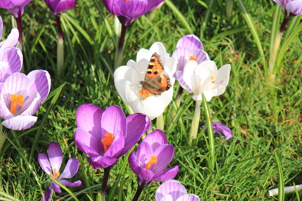 Small tortoiseshell butterfly on a white crocus