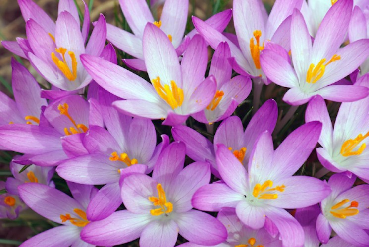 crocus tommasinianus display