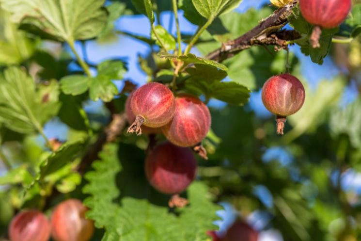 Gooseberries growing on vine against blue sky