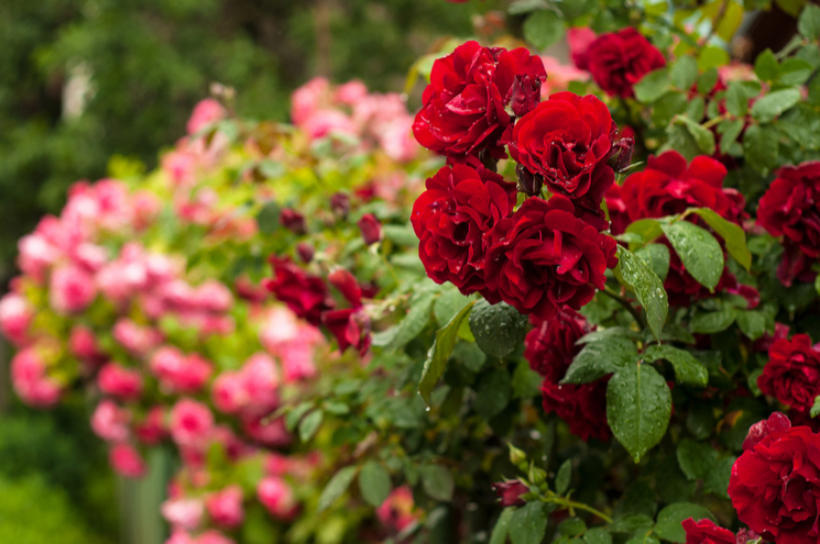 pink and red rose bushes