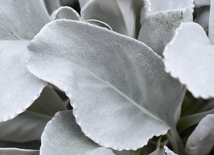 silvery leaf