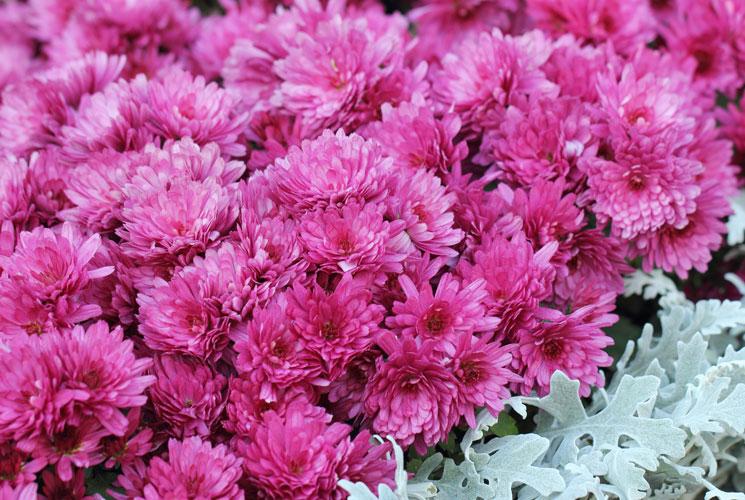Chrysanthemum Anastasia