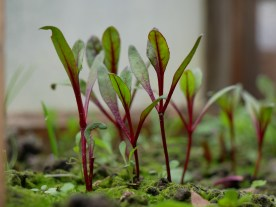 Tiny beetroot getting ready for spring.