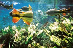 Mergulhar nos rios de Bonito é como nadar em um aquário!