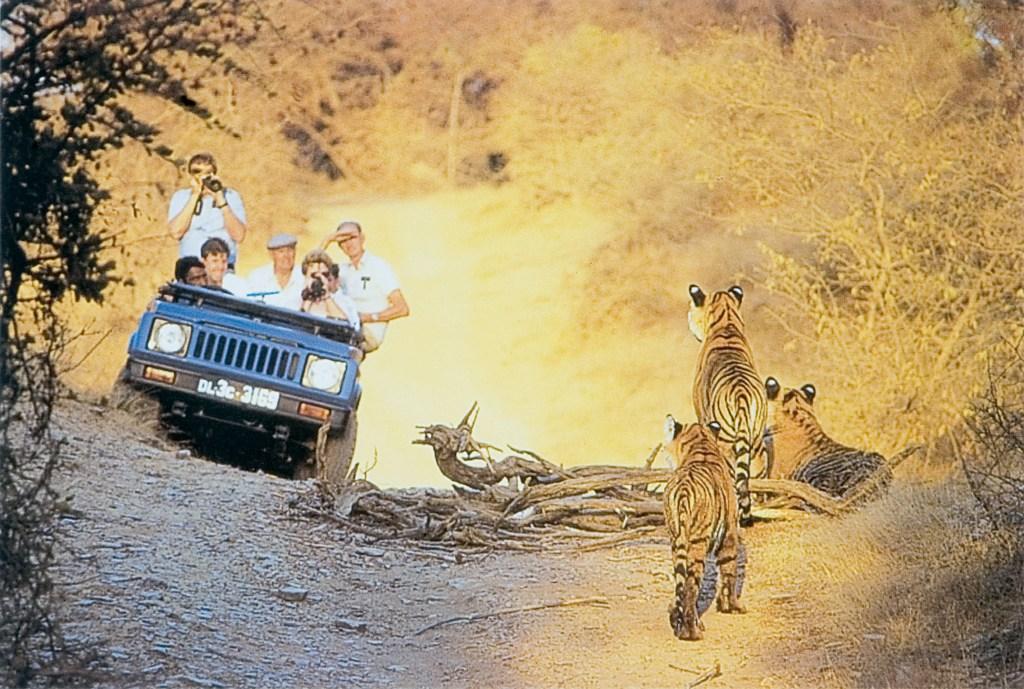 Tigres de bengala durante safari na índia com Lawrence Wahba