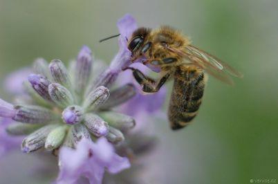Včela a med