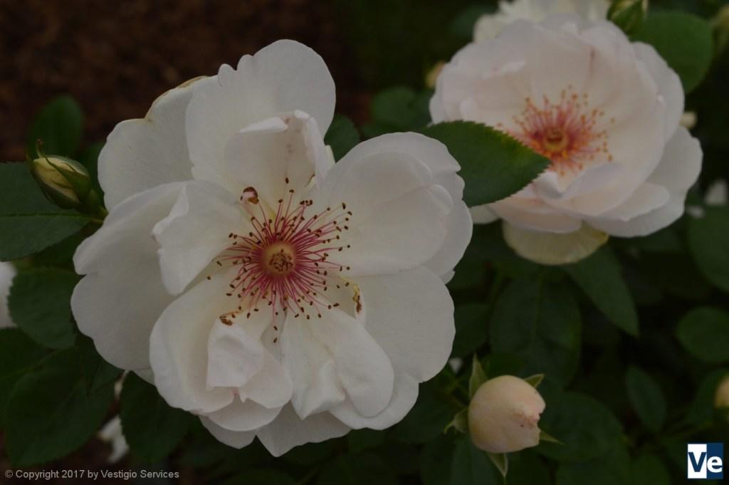 Флористический Хэмптон-Корт:Роза Jacqueline du Pré
