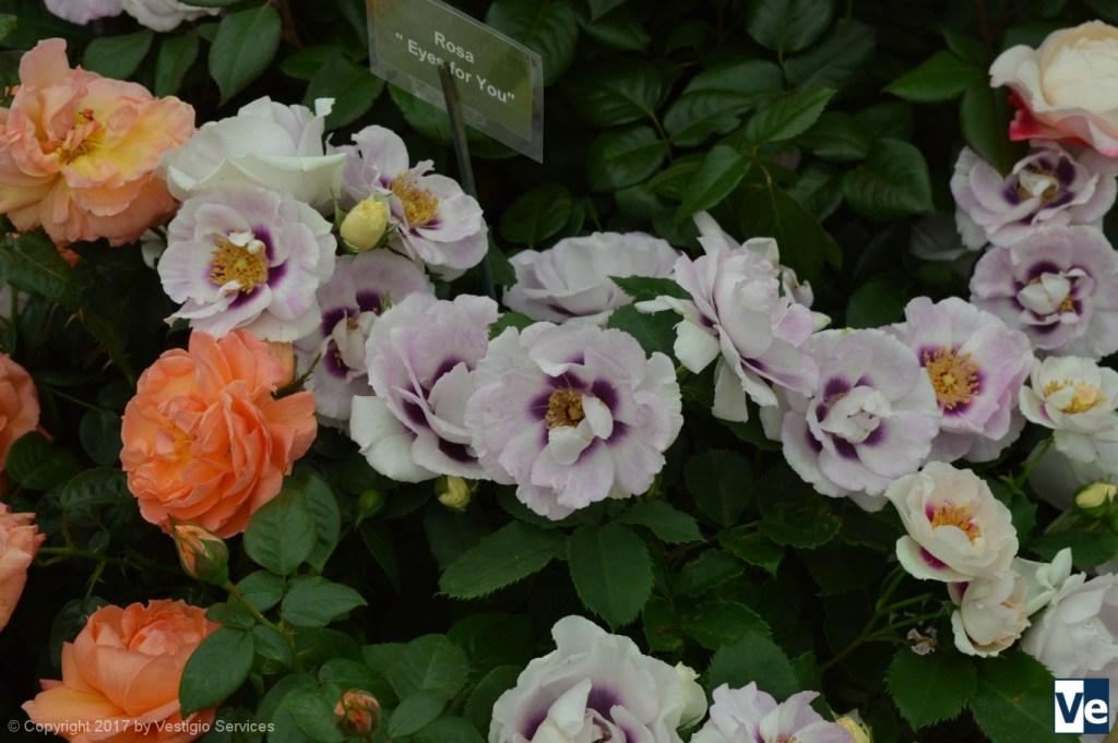 Флористический Хэмптон-Корт: розовый дисплей
