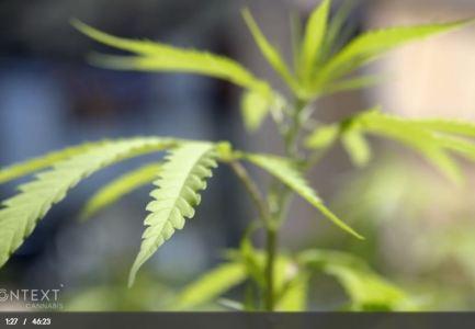 Im Kontext: Cannabis auf Rezept – Eine unterschätzte Gefahr?