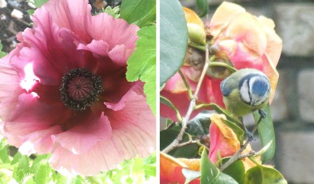 poppy and a blue-tit on a camellia