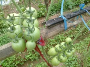 MVEG Tomatoes