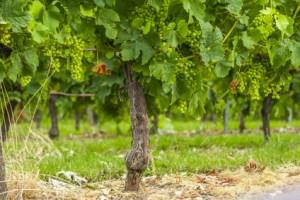 grapes vines vineyard Bordeaux France