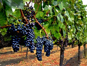 Grapes in Wine Country