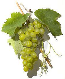Perricone uva Zibibbo
