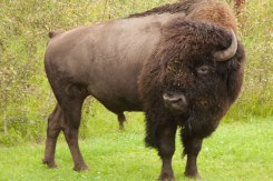 Bison with Freckles