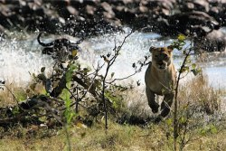 Lioness Running from a Water Buffalo