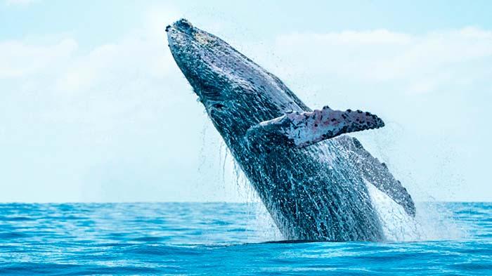 ballenas jorobadas cabos
